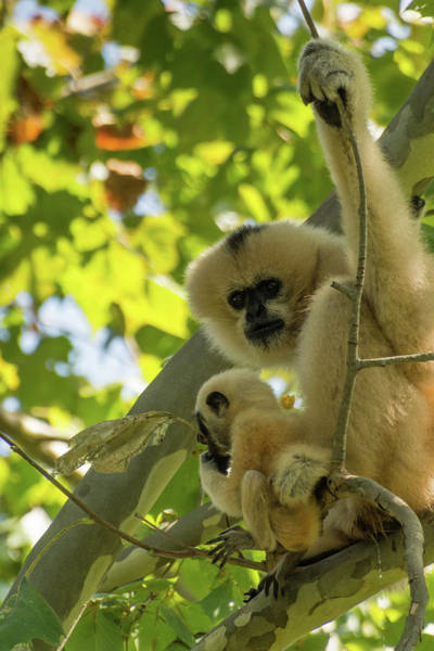 Mommy Gibbon Art Print