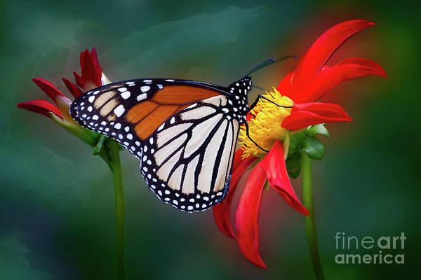 Photograph - Monarach Butterfly Enjoying Some Dahlia Nectar by Ann Jacobson