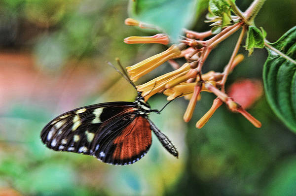 Photograph - Monarch 1 by Lawrence Christopher