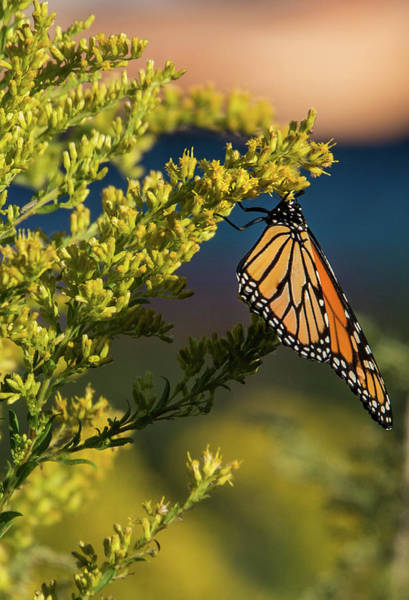 Photograph - Monarch 1 by Lindy Grasser
