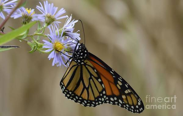 Photograph - Monarch 2015 by Randy Bodkins