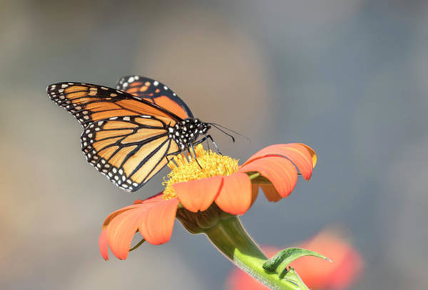 Wall Art - Photograph - Monarch 2017-10 by Thomas Young