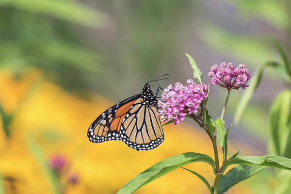 Wall Art - Photograph - Monarch 2017-12 by Thomas Young