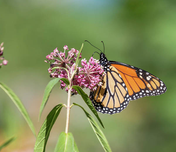 Wall Art - Photograph - Monarch 2018-1 by Thomas Young