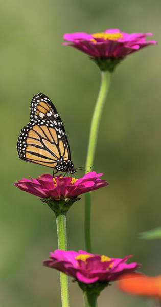 Wall Art - Photograph - Monarch 2018-11 by Thomas Young