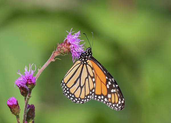 Wall Art - Photograph - Monarch 2018-12 by Thomas Young