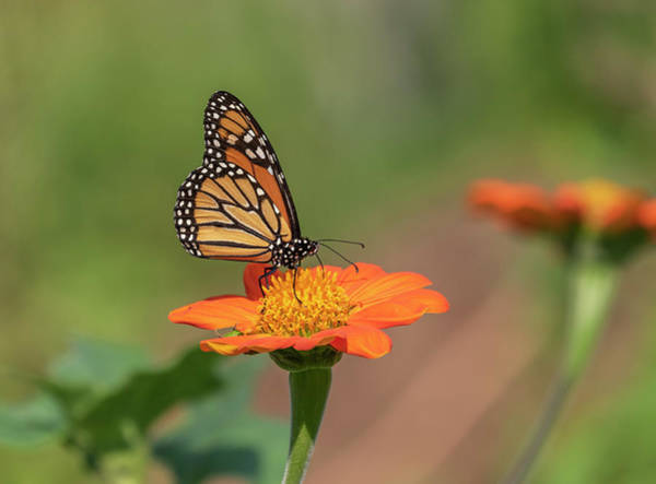 Wall Art - Photograph - Monarch 2018-14 by Thomas Young