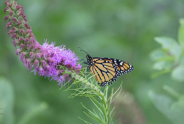 Wall Art - Photograph - Monarch 2018-15 by Thomas Young