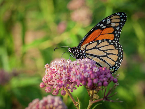 Wall Art - Photograph - Monarch 2018-16 by Thomas Young