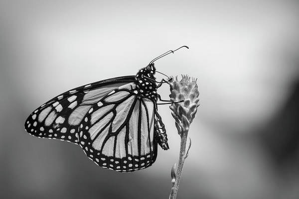 Wall Art - Photograph - Monarch 2018-17-bw by Thomas Young
