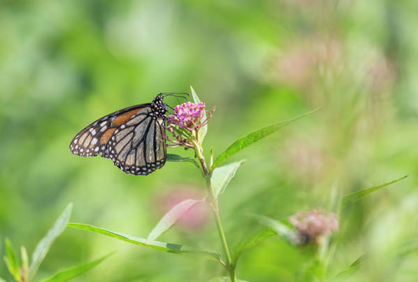 Wall Art - Photograph - Monarch 2018-4 by Thomas Young