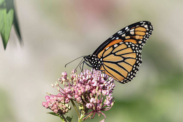 Wall Art - Photograph - Monarch 2018-8 by Thomas Young