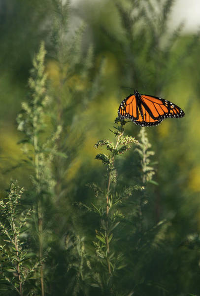 Photograph - Monarch 5 by Lindy Grasser