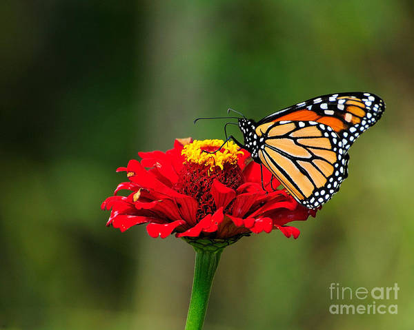 Wall Art - Photograph - Monarch And Cone Flower by Edward Sobuta