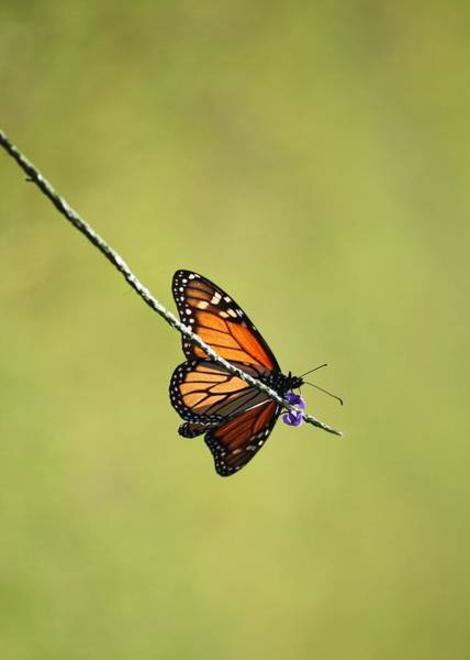 Photograph - Monarch And Natural Green Canvas by Carol Groenen