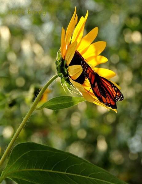 Wall Art - Photograph - Monarch And Sunflower by Chris Berry