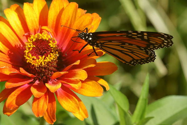 Photograph - Monarch And Zinnia 1 by Dimitry Papkov
