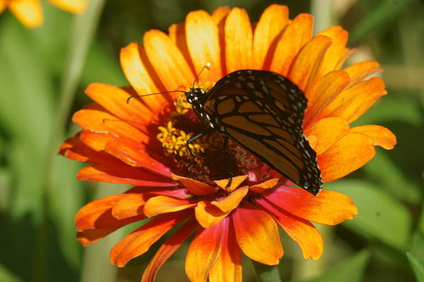 Photograph - Monarch And Zinnia 2 by Dimitry Papkov