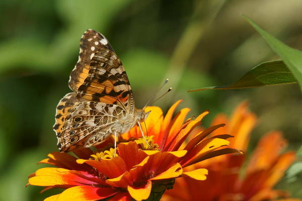 Photograph - Monarch And Zinnia 3 by Dimitry Papkov
