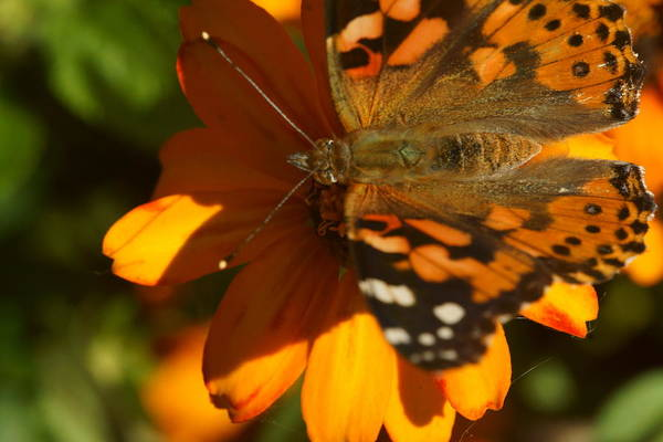Photograph - Monarch And Zinnia 4 by Dimitry Papkov