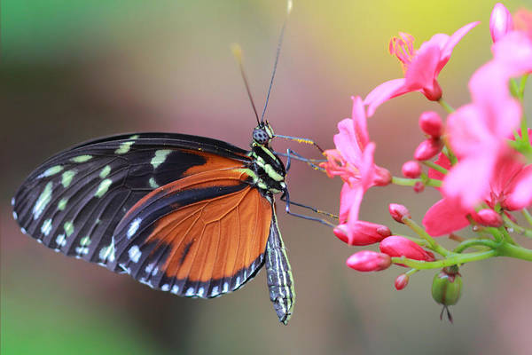 Photograph - Monarch by Angela Murdock