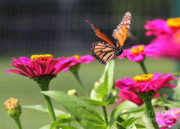 Photograph - Monarch Approaching Zinnia by Angela Rath