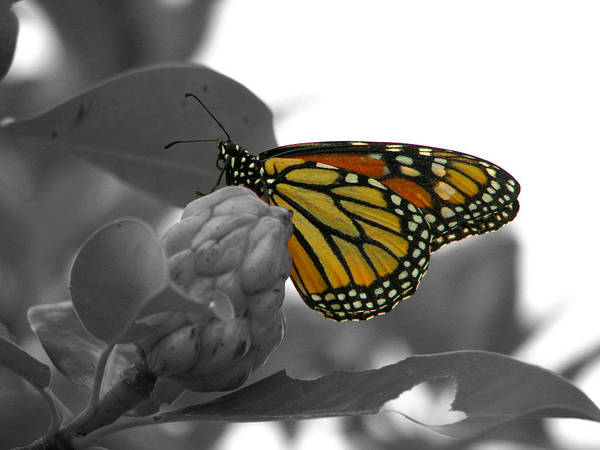 Photograph - Monarch At Rest Colorized by David Dunham