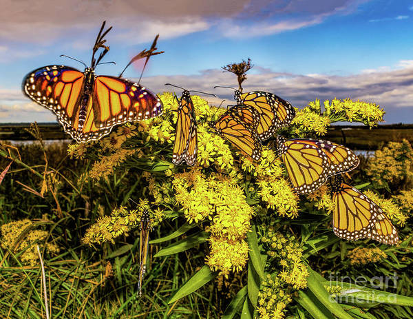 Photograph - Monarch Butterflies At Forsythe by Nick Zelinsky