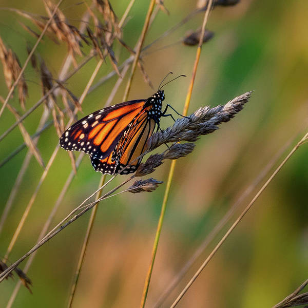 Photograph - Monarch Butterfly 1 Square by Bill Wakeley