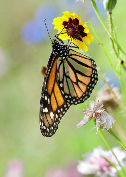 Wall Art - Photograph - Monarch Butterfly 6655 by Michael Peychich