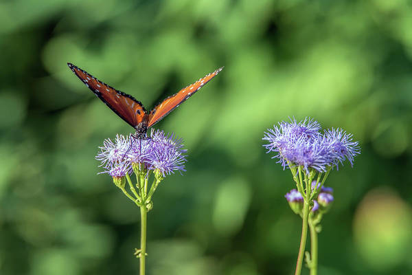 Photograph - Monarch Butterfly 7478-101017-1cr by Tam Ryan