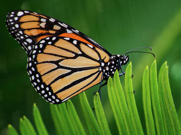Photograph - Monarch Butterfly 7642-101417-1cr by Tam Ryan