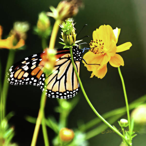 Photograph - Monarch Butterfly And Flower by Edward Peterson