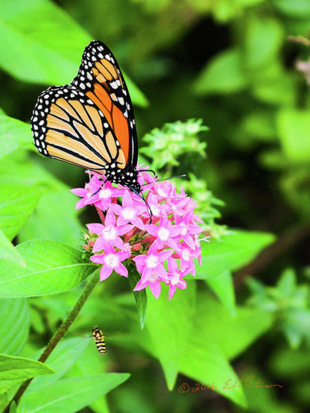 Photograph - Monarch Butterfly And Honey Bee by Edward Peterson