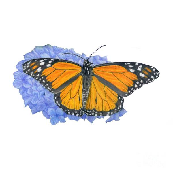 Butterfly Drawing - Monarch Butterfly And Hydrangea- Transparent Background by Sarah Batalka