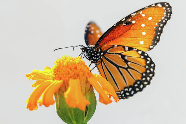 Photograph - Monarch Butterfly And Orange Flower by SR Green