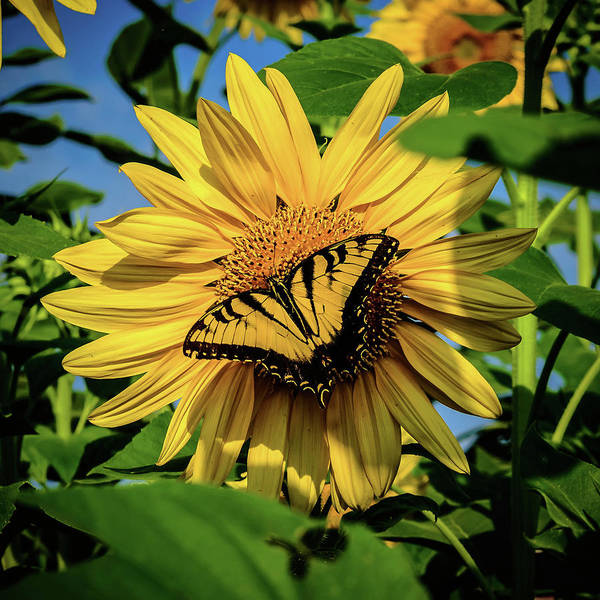 Photograph - Male Eastern Tiger Swallowtail - Papilio Glaucus And Sunflower by Louis Dallara