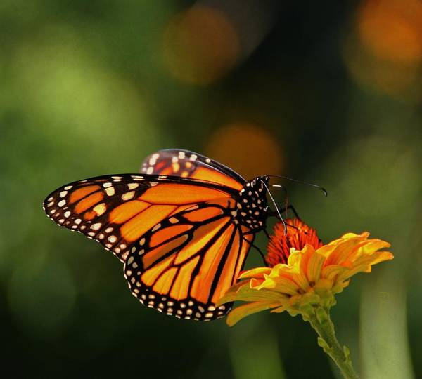 Wall Art - Photograph - Monarch Butterfly And Zinnias  by Chris Berry