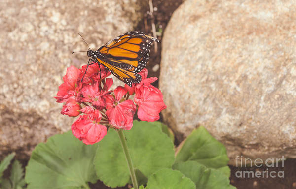 Photograph - Monarch Butterfly by Andrea Anderegg