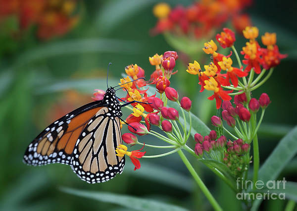 Photograph - Monarch Butterfly by Ann Jacobson