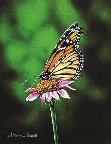 Coneflower Painting - Monarch Butterfly by Anthony J Padgett