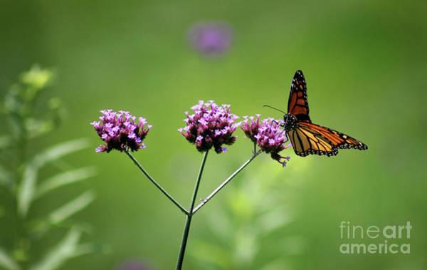 Photograph - Monarch Butterfly Balanced 2017 by Karen Adams