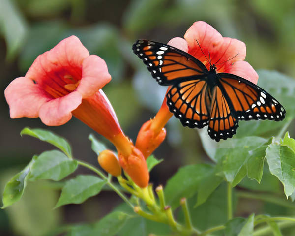 Wall Art - Photograph - Monarch Butterfly by Bill Perry