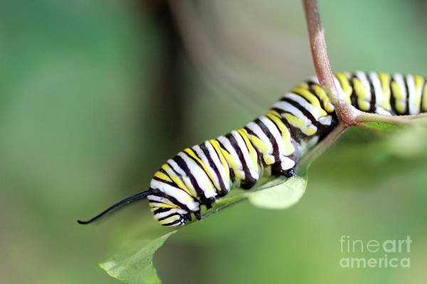 Wall Art - Photograph - Monarch Butterfly Caterpillar Eats A Leaf by Adam Long