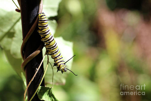 Wall Art - Photograph - Monarch Butterfly Caterpillar Looking At You by Adam Long