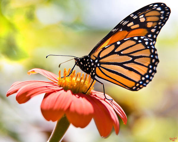Photograph - Monarch Butterfly by Chris Lord