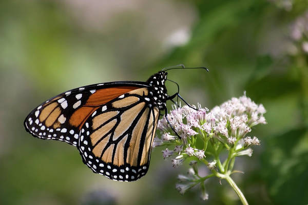 Photograph - Monarch Butterfly Close Up by Jill Lang