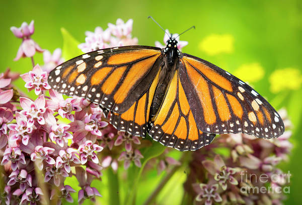 Photograph - Monarch Butterfly Closeup  by Ricky L Jones