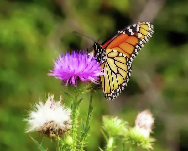 Photograph - Monarch Butterfly Dreams by Lara Ellis