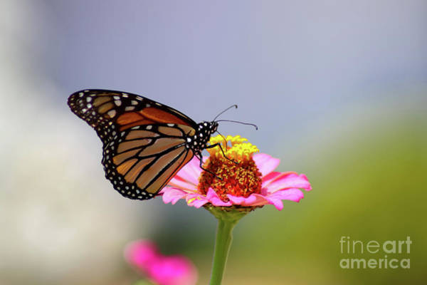 Photograph - Monarch Butterfly Extracting Nectar From A Pink Zinnia by Susan Vineyard